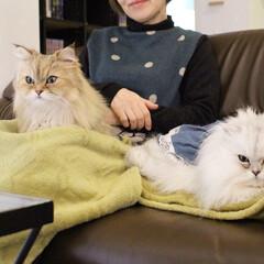 にゃんこ同好会/チンチラファミリー/ペルシャ猫/猫カフェ/ねこカフェなるララァ/ねこカフェなるあずき/... 美人親子による接客💕