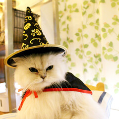 猫カフェ/にゃんこ同好会/ハロウィン/チンチラシルバー/ペルシャ猫/ねこカフェなるララァ/... ハロウィンララァ✨  マント有りバージョ…