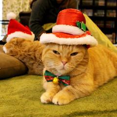 マンチカン/ねこカフェなるちゃちゃ丸/猫カフェ/にゃんこ同好会/ねこカフェなる/クリスマス2019/... おねむサンタ🎅