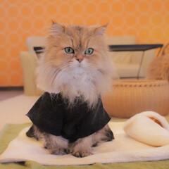 あずきもなか姉妹/お座り猫/メイド風もなか/メイド風/ペルシャ猫/猫カフェ/... ちょこんもなか💕