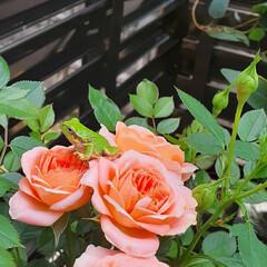 花のある暮らし/花のある生活/薔薇/スイートドリーム/メダカ/暮らし スイートドリームの2番花  5月の始めに…