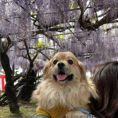 犬/ペキックス/春のフォト投稿キャンペーン/ありがとう平成/フォロー大歓迎/LIMIAファンクラブ/... . 藤まつり✨ 樹齢300年以上の藤の花…