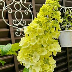 ダールベルグデージー/ストロベリースライス/ベルフラワー/八重咲き紫陽花/カシワバアジサイ/花のある生活/... 紫陽花が咲き始めました😊 最初は八重咲き…