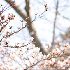 桜/春/桜並木/花/満開/春の一枚/... このボケ感は単焦点でしか出せない、、たま…