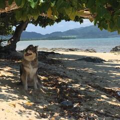 わんこ同好会 日差しが強烈な石垣島ビーチ。 北の犬には…