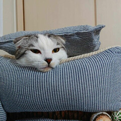 猫好き/猫との暮らし/ネコ/LIMIAペット同好会/にゃんこ同好会/スコティッシュフォールド ムギは自分でクッションをかぶる
