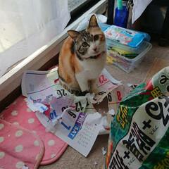 幸せ/癒し/可愛い/かわいい/三毛猫/ネコ/... マスクの型紙に使おうと取ってあったカレン…