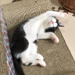 子猫の頃/子猫/ハチワレ猫/ハチワレ/はちわれ猫/LIMIAペット同好会/... 子ねこの頃のギン 最近はヘソ天で寝てくれ…