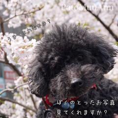 犬好きな人と繋がりたい/わんこなしでは生きていけません/トイプードルホワイト/トイプードルブラック/マルプー/トイプードル多頭飼い/... 先日のお花見で ぼくの撮った写真を見ても…