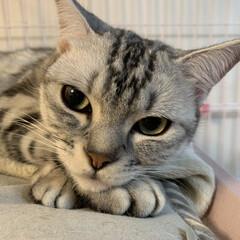 猫好き集まれ/ペット/アメショ/アメリカンショートヘアシルバータビー/アメリカンショートヘア/可愛い/... 大人ぽい表情のヒメちゃん💖 日曜日、まっ…