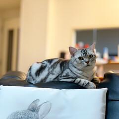 うちの子ベストショット/うちの子/うちの子ワンショット/猫好き集まれ/猫好き/アメショ部/... 大好きなソファーの背もたれでちょこんと落…