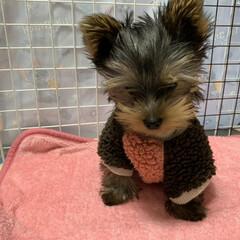 犬/犬服/ヨーキー/ペット/雑貨/ファッション 顔カット前に撮った写真ですが、チョコの小…