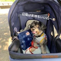 ヨーキー/チワプー/ペット/散歩/犬 今朝は、チョコに誘われてお散歩に… ほん…