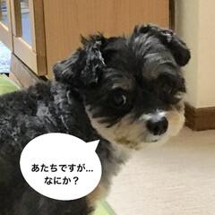 犬/トリミング後/ペット/チワプー/春のフォト投稿キャンペーン/春/... やっぱりチョコでーす❣️ 普段は、耳垂れ…
