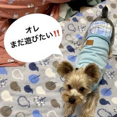 チワプー/ヨーキー/ペット/犬 3月24日 昨夜の2匹…7歳チョコは、散…(2枚目)