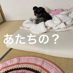 チワプー/ペット/犬/手編み/マット/キャンドゥ/... 桜🌸の絨毯見て来たら、編み編みしたくなっ…(2枚目)