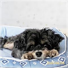チワプー/ヨーキー/ペット/犬/雑貨/暮らし/... チョコ… ニトリのベッド気に入ったようで…