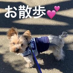 梅/花粉症/散歩/犬/チワプー/ヨーキー/... 2月9日 お散歩して来ました🐶🐶😅 梅ち…