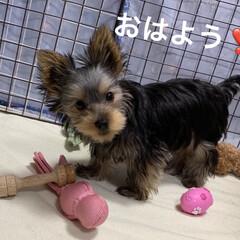 おもちゃ/ヨーキー/ペット/犬 おはようございます☀ チョコの使わなかっ…