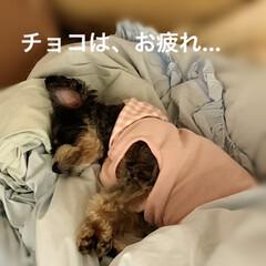 チワプー/ヨーキー/ペット/犬 3月24日 昨夜の2匹…7歳チョコは、散…(1枚目)