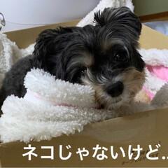 チワプー/ペット/犬/箱犬/アマゾン/おでかけ/... アマゾンから荷物が… 空いた箱に興味を示…