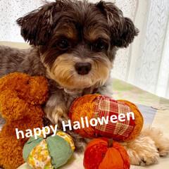 チワプー/ペット/犬/かぼちゃ/ハロウィン/朱色/... おはよう😃 チョコとかぼちゃでハロウィン…