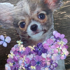 押し花/押し花アート/紫陽花/チワプー/ペット/犬/... 紫陽花の押し花アート 第6弾チワワちゃん…