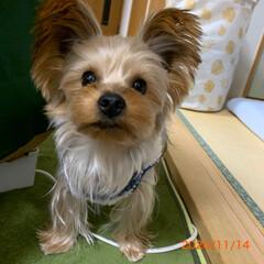 ヨーキー/ペット/犬服/顔プチカット/手編み/犬/... おはようございます♪ コタロウのべべ完成…