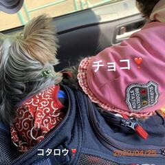 多頭飼い/チワプー/ヨーキー/ペット/犬/車中より この前先住犬のお寺に、継続供養の手続きに…