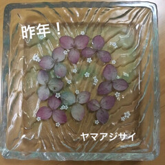 紫陽花/押し花/レジン/雨季ウキフォト投稿キャンペーン/令和の一枚/至福のひととき/... 紫陽花のドライチャレンジするも、クチャク…(2枚目)