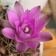 ダイソー/開花/サボちゃん/多肉ちゃん/100均/動物モチーフグッズ サボちゃんの花開き始めました。 多肉ちゃ…