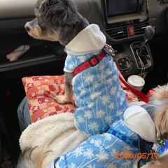 ダイソー/お揃い/チワプー/ヨーキー/ペット/犬/... 今日のお散歩…歩かない、車で気分転換… …
