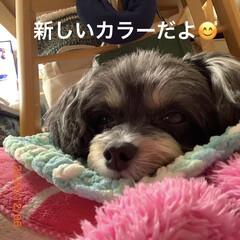 手編み/毛糸/ペット/チワプー/犬/手作りカラー/... おはようございます🥶 カラーの新作😊✌️…