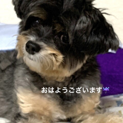 チワプー/ペット/犬 おはようございます☔️ ご飯食べる? チ…