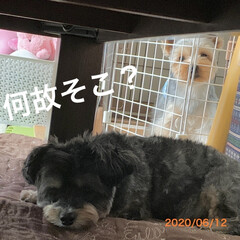 犬/ヨーキー/チワプー/ペット/イヌ いきなりコタが吠えた! うん?🤔と思った…