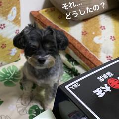 おやつ/チワプー/ペット/犬/頂き物/カレーラーメン🍜/... 先日、お届け物で〜す📦って… すごく嬉し…(2枚目)