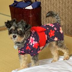 浴衣/チワプー/犬/ペット/令和の一枚/LIMIAペット同好会/... 今朝のチョコ 浴衣着て、朝ご飯に行って来…