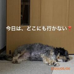 ペット/犬/チワプー/暮らし 昨日、実家で二匹のシャンプーして、昼寝し…