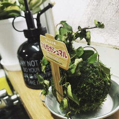 がじゅまる/苔玉/植物と暮らす/観葉植物/春のフォト投稿キャンペーン/はじめてフォト投稿/... 3500円で5種類の観葉植物がランダムで…