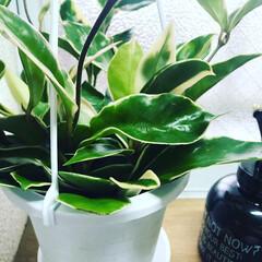 観葉植物/植物と暮らす/春のフォト投稿キャンペーン/平成最後の一枚/はじめてフォト投稿/フォロー大歓迎/... ホヤカルノーサというらしい🌿🌿  ランダ…
