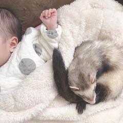 お昼寝/寝顔ショット/うちの子/仲良し/フェレット/うちの子ベストショット/... 初めての投稿です☺︎   うちの子👶(生…