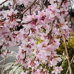 春のフォト投稿キャンペーン/LIMIAおでかけ部/はじめてフォト投稿/風景 しだれ桜の花🌸アップしました🤗(1枚目)