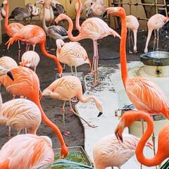 ピンク 北海道円山動物園 ピンクのフラミンゴ🦩