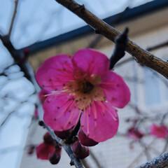 ピンク 庭の梅の花咲きました🤗