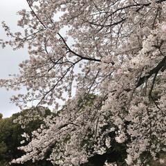 風景 三ツ池公園 お花見