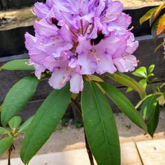 GW 花みどり公園 新緑と様々なシャクナゲの花…