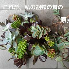 蘭くんの小さなお庭/多肉植物  トゲ無し檸檬の苗、買いました~🥰 まだ…(5枚目)