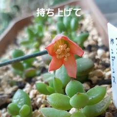 多肉棚便り 覚えられない名前の花が 咲きました🎵 身…(2枚目)