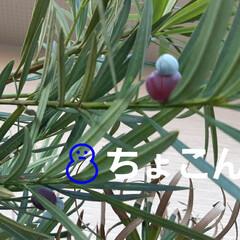 父の忘れ形見 15年程前、生前、父に貰った朝鮮槇の苗。…(4枚目)