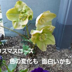 蘭くんの小さなお庭/多肉植物  トゲ無し檸檬の苗、買いました~🥰 まだ…(2枚目)